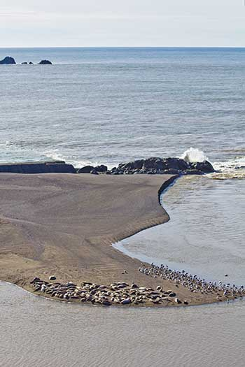seals and seagulls on sandspit, Russian River