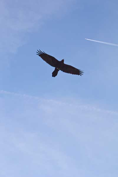 Raven soaring over Mosaic Canyon