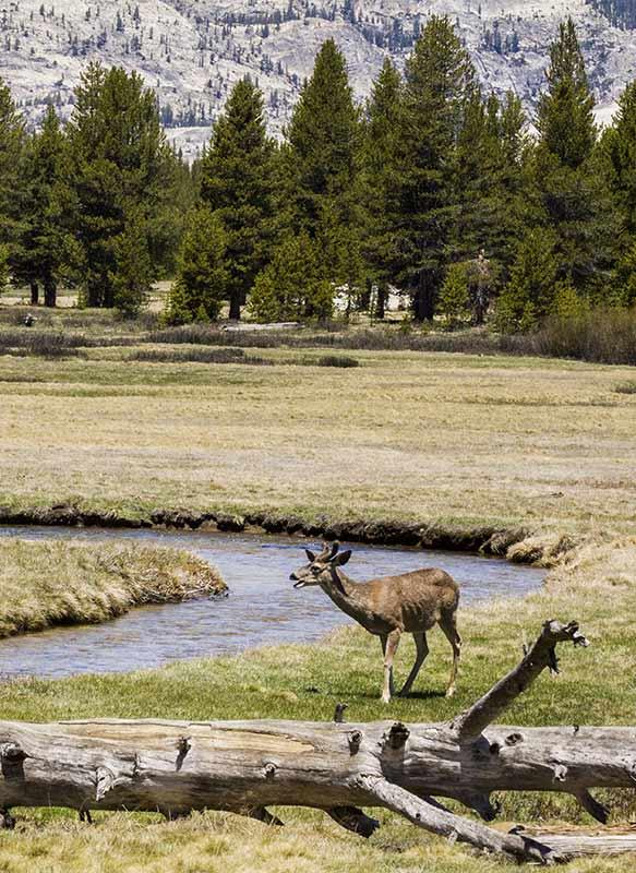 deer in Tuolumne Meadows