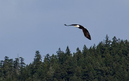 Bald Eagle over Crescent Lake