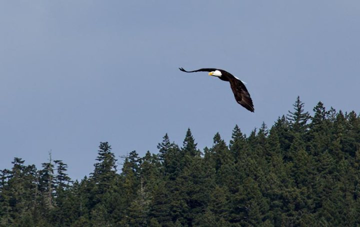 Bald Eagle over Crescent Lake