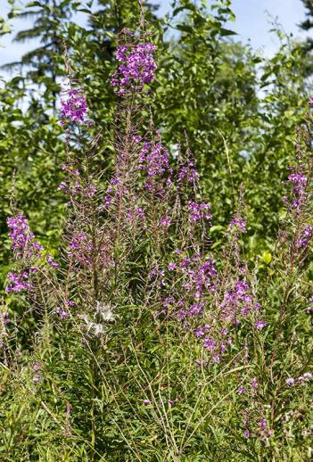 Fire weed