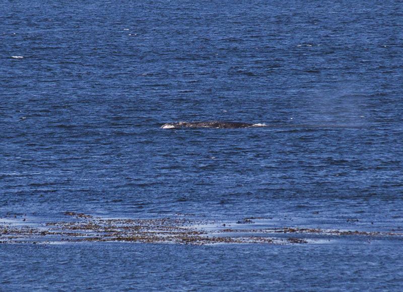 Grey Whale feeding