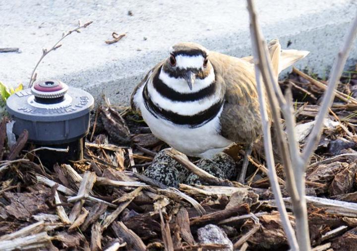 Mother Killdeer on her four eggs