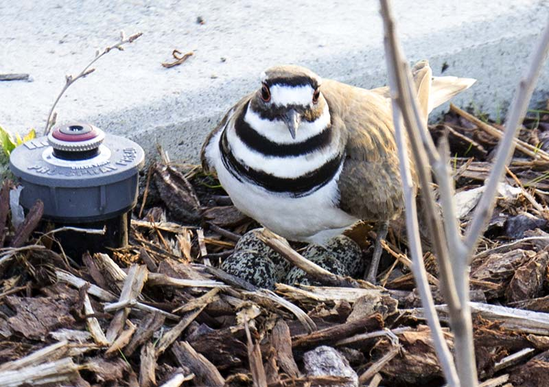 Mother Killdeer on her four eggs