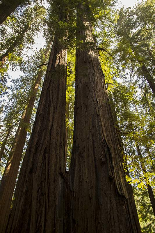 redwoodtwins