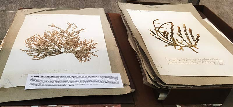 Algae Specimens from the Red Sea, 1844-45