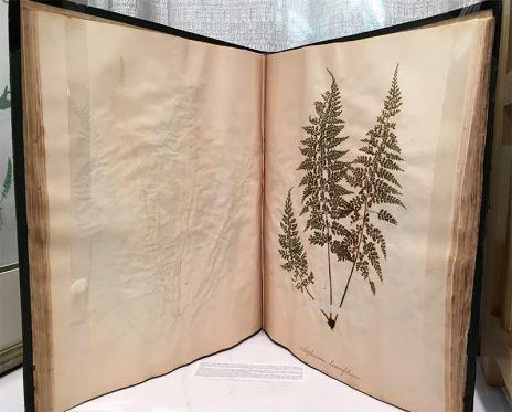 Asplenium tenuifolium, 1872-73, India